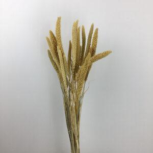 Millet Grass (Setaria)