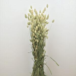 Phalaris (Canary Grass)