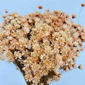 Star Flower (Glixia/Temporona)