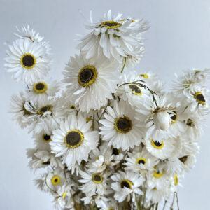 Daisy Flowers & Ixodia